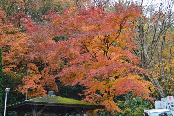 宝登山 紅葉
