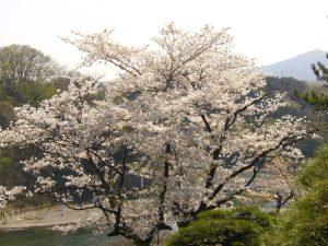 京亭の庭と桜