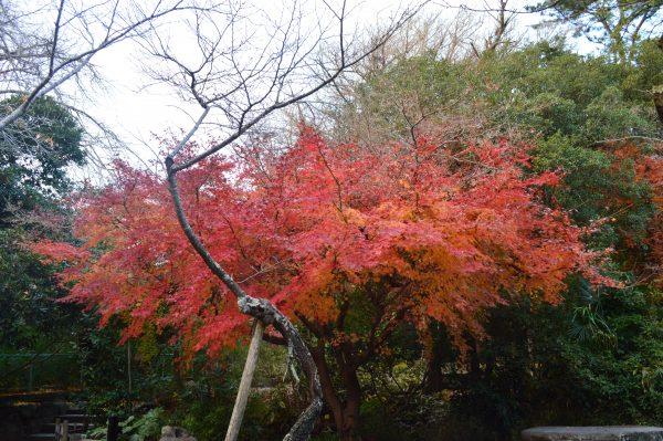 高徳院紅葉