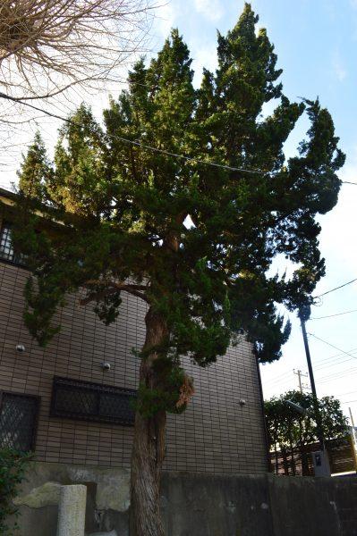 蛭子神社 境内の木