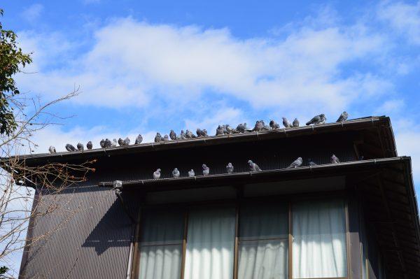 蛭子神社社務所のハト