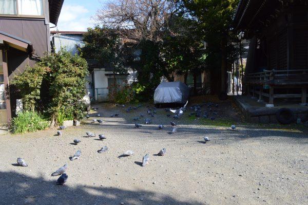 蛭子神社境内のハト