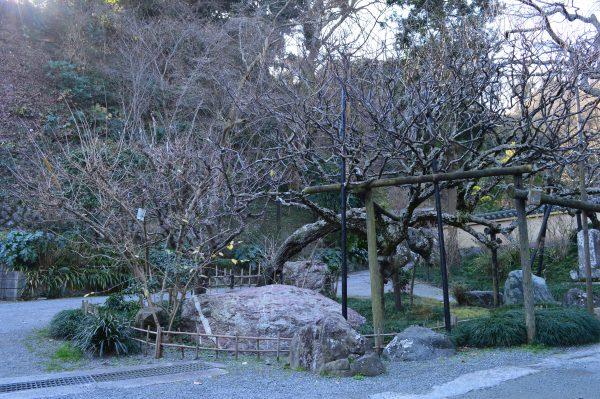 光則寺山門前 桜の木
