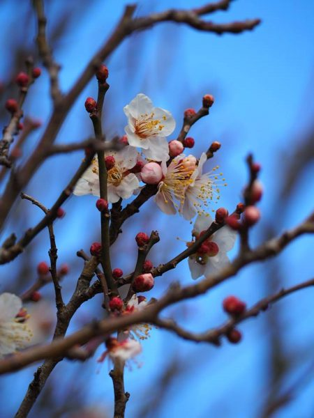 明王院境内の梅をアップで