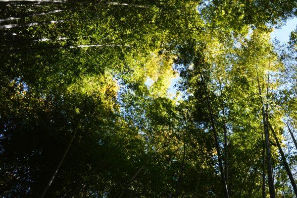 報国寺 竹の庭