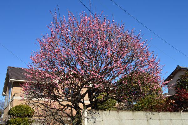 池上本門周辺 桜の木