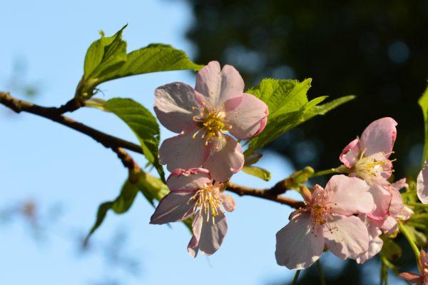 鎌倉宮 桜